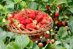 充分的柳条筐用草莓在庭院里 丛生草莓  库存图片