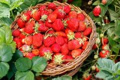 充分的柳条筐用草莓在庭院里 丛生草莓  库存照片