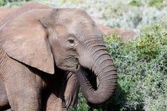充分的框架非洲布什大象 库存图片