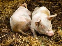充分的猪圈猪端二视图 图库摄影