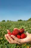 充分的现有量草莓 免版税库存照片