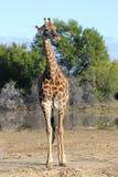 充分的长颈鹿纵向 免版税库存图片