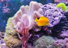 充分礁石坦克、海洋水族馆鱼和植物 坦克充满收留的活水下的动物水 免版税库存照片