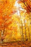 充分秋季的美丽的秋天森林的红色叶子 免版税库存照片