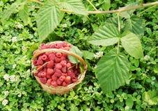充分篮子在草的成熟红草莓 库存照片