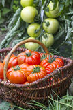 充分篮子新近地被收获的蕃茄 库存照片