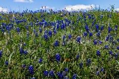 充分美丽的得克萨斯路旁矢车菊和一些朵印度画笔野花。 免版税库存照片