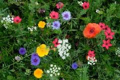 充分草甸各种各样五颜六色的野花包括蓝色矢车菊和毛茛在草,英国英国中 免版税库存照片