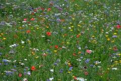 充分草甸各种各样五颜六色的野花包括蓝色矢车菊和黄色万寿菊,英国英国 免版税库存图片