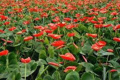 充分荷兰温室红色安祖花花 免版税库存照片