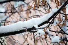 充分菩提树分支树冰 库存照片
