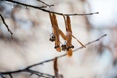 充分菩提树分支树冰 库存图片