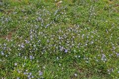 充分调遣与狂放的蓝色花,晚夏 库存照片