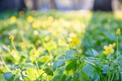 充分调遣小黄色花在春天在公园的在太阳射线 库存照片
