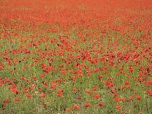 充分调遣开花的鸦片用法语普罗旺斯地区在夏天 库存照片