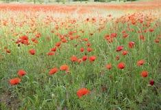 充分调遣开花的鸦片用法语普罗旺斯地区在夏天 免版税库存照片