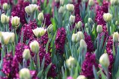 充分调遣紫色风信花和白色郁金香 库存照片