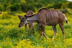 充分走在领域的女性kudu的雏菊 免版税图库摄影