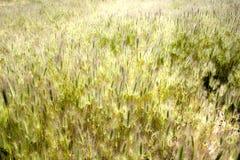 充分领域的麦子在土地 库存图片
