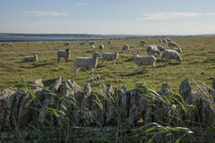 充分领域的绵羊 库存照片