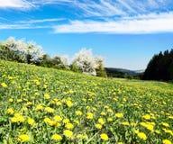 充分黄色开花的草甸蒲公英 图库摄影