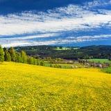 充分黄色开花的草甸蒲公英 免版税库存照片