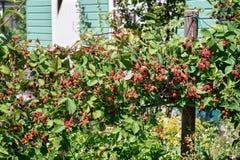 充分黑莓灌木不相当成熟果子 库存图片
