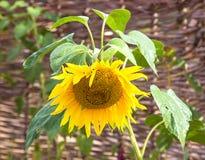 充分头弯下来的成熟向日葵种子 库存图片