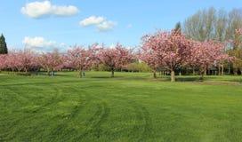 充分绿色领域和树桃红色花 库存图片