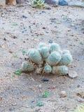充分Gymnocalycium Echinopsis calochlora仙人掌 免版税库存照片