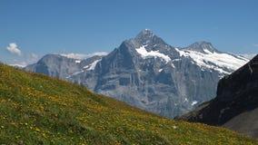 充分Schreckhorn和草甸有黄色野花的 免版税库存照片