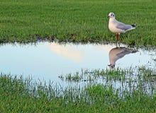 充斥的沼泽地和海鸥鸟 库存照片