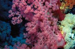 充满活力珊瑚桃红色的结构树 库存照片