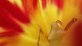 充满活力的在夏天野花的火红色和黄色颜色与花粉细节 库存图片