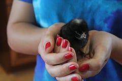 充满活力的婴孩鸡 图库摄影