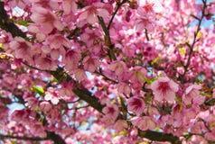 充满活力的桃红色佐仓绽放,樱花 库存照片
