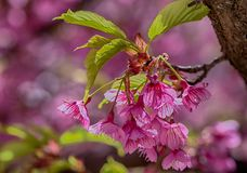充满活力的桃红色佐仓绽放,樱花 库存图片