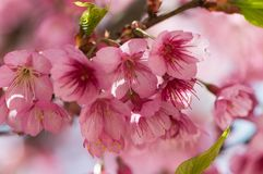 充满活力的桃红色佐仓绽放,樱花 免版税库存图片