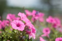 充满活力的桃红色野花 免版税库存图片