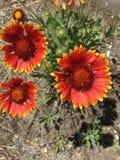 充满活力的橙色和黄色野花 图库摄影
