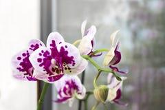 充满活力的热带紫色和白色兰花花,花卉背景 在窗口的兰花 泰国Orch的美丽的家庭花束 免版税库存照片