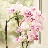 充满活力的热带紫色和白色兰花花,葡萄酒方形的花卉背景 在窗口的兰花 美丽的家庭花束o 免版税库存照片