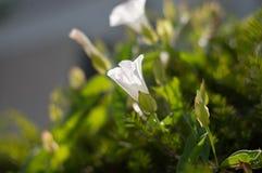 充满活力的白色野花 免版税库存图片