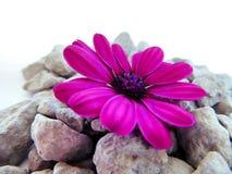 充满活力的紫色海角延命菊雏菊花 免版税库存图片
