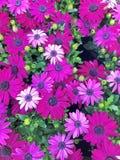 充满活力的紫色海角延命菊雏菊 图库摄影