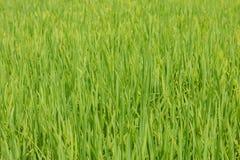 充满活力的绿色稻田中央越南 免版税图库摄影
