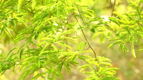 充满活力的绿色罗望子树叶子森林 股票视频