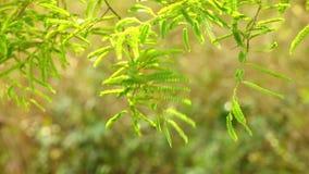 充满活力的绿色罗望子树叶子 股票视频