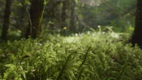 充满活力的绿草特写镜头 接近的草绿色宏指令 深度露水领域草狭窄 股票视频