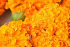 充满活力的色的印地安玛丽金子宏观纹理开花 库存照片